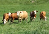 Raza Simmental