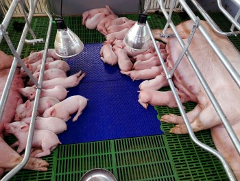 Bayer Animal Health lanza Care4Pigs para promover el bienestar de los cerdos